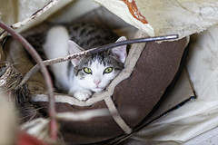 """""""Onion"""" relaxing (To see a World in a Grain of Sand And a Heaven in ) Tags: nikond500 cat feline greeneyes ireland animal kitten nikon85mmf18g catbed"""