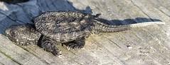 Baby Snapping Turtle. (rumerbob) Tags: turtle amphibian pond lake marsh peacevalleypark lakegalena wildlife wildlifephotographer wildlifewatcher nature naturewatcher naturephotography animal canon7dmarkii canon100400mmlens