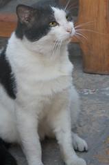 j'attends (vtossuma) Tags: chat bicolore mammifere àpoils