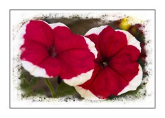 Red and White Petunia (Audrey A Jackson) Tags: canon60d petunia colour red white petals nature