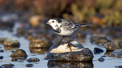 Pied Wagtail (NickWakeling) Tags: piedwagtail salthouse norfolk canoneos7dmarkii sigma150600mmf563dgoshsmcontemporary