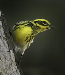 TownsendsWarbler_I4A4952 (pamwalz594) Tags: bird townsendswarbler