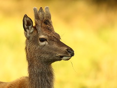 The Young Buck (coopsphotomad) Tags: deer reddeer animal mammal wild wildlife nature free mull canon bokeh colour brown yellow green mellow portrait outdoor field obnivor