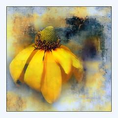 Black-eyed Susan (ulli_p) Tags: asia art artofimages amazingcolours aworkofart awardtree blossoms colours flickraward flowers nature texture textured texturedphoto il