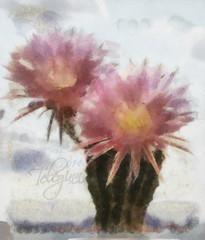 Цветущий кактус акварелью по мокрому / Flowering cactus watercolor on the wet (tatiana.ch) Tags: стилизация фотоживопись кактус фото2014 акварель акварельпомокрому dap painting phototopainting flower cactus wetonwet watercolor aquarell фотоteleginn