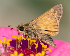 Sachem Skipper (tresed47) Tags: 2018 201809sep 20180930homemacro butterflies canon7dmkii chestercounty content folder insects macro pennsylvania peterscamera petersphotos places sachem season september skipper summer takenby technical us