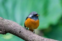 黃尾鴝 Phoenicurus auroreus (omegapeng) Tags: