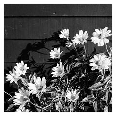 Bouquet (SebRiv) Tags: flowers daisies marguerittes fleurs ombres monochrome bw noiretblanc blackandwhite leica m10 summicron 35 f2 summicron35f2 35mm streetphoto magichour