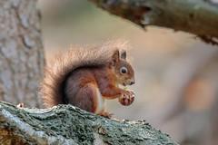 Red Squirrel (Linda Martin Photography) Tags: dorset sciurusvulgaris redsquirrel uk brownseaisland nature wildlife squirrel naturethroughthelens coth alittlebeauty specanimal coth5 ngc npc