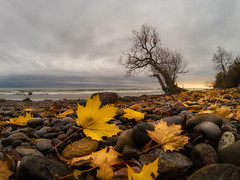 fall at the shore (Marc McDermott) Tags: gopro hero5 lakeontario ontario canada fall autumn leaves leaf yellow clouds natue tree water waves rocks beach