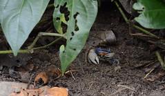 Costa Rica 2017 (esteves.victoria) Tags: naturaleza costarica cahuita cangrejo