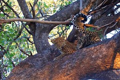 IMGP9696 Looking at you (Claudio e Lucia Images around the world) Tags: ruaha national park tanzania africa leopard leopardo young feline cat big eyes tree pentax pentaxk3ii sigma sigma50500 bigma sigmaart pentaxart nationalgeographic africageographic animale branch
