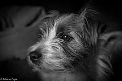 Sara. Black and white portrait 39/52 (Tõnno Paju) Tags: sara 52weeksfordogs animal dog jack russell terrier nikon sigma pet portrait blackandwhite black white