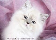 Cute Kitten Pictures (dollfacepersiankittens.com) Tags: himalayan cat kittens persian for sale doll face himalayans himmy color point cats catsofinstagram catpictures cattery catstagram catsofgoogle catsoftumblr kittensofinstagram cutekittenpictures cutecatpictures cutekittens cutecats breeder