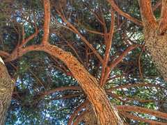 Tree structures (sander_sloots) Tags: pinuspinea stone pine parason hyères toulon tree branches limbs parasolden den boom takken stammen