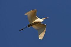 Большая белая цапля. (tam6524) Tags: цаплябелая greatwhiteheron egrettaalba bird sky nature animal
