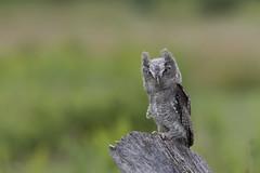 Baby screech owl (wrpryde) Tags: nikon nature natur naturaleza nikond5 nikon200mm oiseau outdoor ontario owl raptor