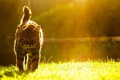 Stavros the Cat (Phil Spalding) Tags: cat corfu greece sunlight sun bokeh sunset sunny warm prowl feral
