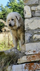 Hardy, Patou (François Magne) Tags: berger bergère brebis troupeau estive alpage pastoraloup transhumance scene pastorale fz 300 lumix loup couchade patou