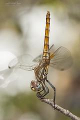 Obelisco de Trithemis annulata (Pipa Terrer) Tags: trithemisannulata odonata libélula dragonfly anisoptera insecta invertebrados