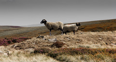 Keeping Guard (wilkinsong) Tags: sheep moorland
