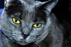 Gata Negra Nami (Figo Pilgrim) Tags: gato kitten ojos amarillo negro animales cat