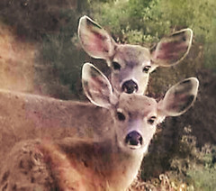 Low quality photo (phone zoom) but high quality cuteness! :-) :-) (Christopoulos) Tags: deer blacktaileddeer fawns california cute