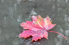 Fall (Shumilinus) Tags: 1855mmf3556 2013 nikond300s nature autumn leaves puddles mapleleaf watersurface grey red