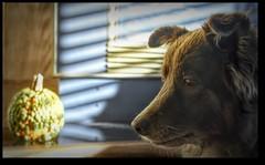 Shizandra & The Galeux d'Eysines Pumpkin! (Read What's In The Flu Shot...Scary!!!) Tags: ddc 2537 pumpkin galeuxd'eysines bumpy inthelivingroom light shadows hearth shizandra cookingpumpkin hybrid heirloom dog canine redbordercollie