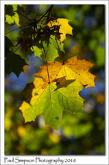 Backlit Autumn Leaves (Paul Simpson Photography) Tags: paulsimpsonphotography sonya77 imagesof imageof photoof photosof autumn nature colour fall october 2018 leaves trees twigs naturalworld