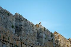 DSCF5718 (Peter-Durrant) Tags: bird robin wall southerndown