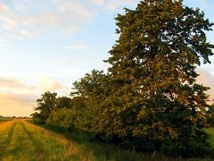 The Haywain near Ely (Heaven`s Gate (John)) Tags: haywain ely sunset summer evening field fens trees johndalkin heavensgatejohn cambridgeshire england grass crop 10faves
