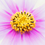 Pink and White Cosmos thumbnail