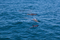 IMG_2391.jpg (whaler.of.the.moon) Tags: dolphin kauai napali