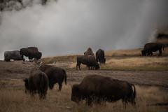 Vapeur sur les bisons (Samuel Raison) Tags: bison bisons buffalo buffalos wildlife nature fumées geyser smoke troupeau herd yellowstone yellowstonenationalpark yellowstonewildlife mudvolcano nikkor nikond800 nikon2870200mmafsvr nikon