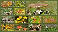 Beauties of autumn (wilma HW61) Tags: collage photoborder herfst herfstkleuren autumn automne autunno herbst najaar fall paddestoel mushroom fungus natuur nature natur naturaleza nederland niederlande netherlands nikond90 paysbas paesibassi paísesbajos europa europe