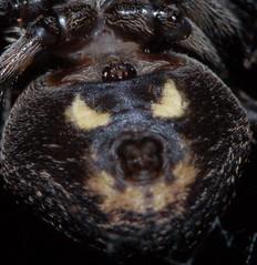 Nuctenea umbratica or angry bear CROP  HAPPY HALLOWEEN (Procrustes2007) Tags: spider nuctenea nucteneaumbratica walnutorbweb arachnid arachtober macro humour nikond50 sudbury suffolk uk