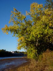 Silver Maple (Dendroica cerulea) Tags: silvermaple acersaccharinum acer aceraceae sapindaceae sapindales tree leaves foliage river bridge autumn raritanriver donaldsonpark highlandpark middlesexcounty nj newjersey