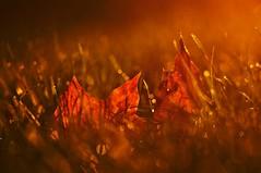 Autumn glow (Stefano Rugolo) Tags: stefanorugolo pentax k5 pentaxk5 smcpentaxm100mmf28 ricohimaging autumn glow persepctive pov pof backlight leaves grass sweden light sunset evening manualfocuslens manualfocus manual vintageprimelens vintagelens vintageprime