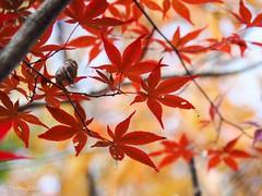 2018 Momiji #2 (Yorkey&Rin) Tags: 11月 2018 autumn autumnleaves em5markii fall japanesemaple momiji november olympus olympusm14150mmf4056ii pb020023 rin yamanakako yamanashi もみじ゙ 紅葉 紅葉祭り 山中湖 山梨県 秋