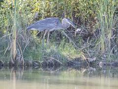 Heron (fotofrysk) Tags: greatblueheron ardeaherodias heron waterbird meal pray snack fish pond stormpond reeds green nature canada ontario markham city afsnikkor200500mm56eed nikond500 20180922450