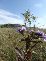 MNDNR_SNA_Blanket Flower Prairie (minnesota_snas) Tags: mndnr sna dnr scientificandnaturalarea departmentofnaturalresources blanket flower prairie fall purple 2018