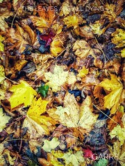 The leaves are all dying! (Garr8) Tags: johngarrett garr8 autumnal foliage leaves autumn colours decay beauty phone motorola