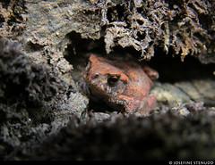 20180802_09 Closer shot of young common toad (Bufo bufo) (?) hiding among moss or lichen | The trail Bohusleden, section 15 - Metsjö to Kaserna | Bohuslän, Sweden (ratexla) Tags: ratexlasbohusledenhike nonhumananimals bohusleden bohusledenetapp15 2aug2018 2018 canonpowershotsx50hs nature sweden sverige scandinavia scandinavian europe nordiccountries norden skandinavien beautiful earth tellus photophotospicturepicturesimageimagesfotofotonbildbilder hiking hike life organism biology wildlife frog frogs animal animals nonhumananimal cute cool zoology djur groda grodor wild vild vilda amphibian amphibians groddjur amfibier herp herps europaeuropean journey vacation holiday semester resaresor ontheroad sommar toad toads padda paddor vanligpadda commontoad bufobufo