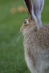 Hare in the Yard III (SOTC 306/365) (gina_blank) Tags: sotc rabbit hare bunny portrait animal fauna grass autumn edmonton yeg closeup eye whiskers ears bokeh outdoors nature mammal leporidae jackrabbit