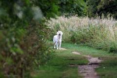 dog J78A1617 (M0JRA) Tags: birds flight flying wildlife rats walks gardens parks fields trees lakes ponds ducks swans rspb