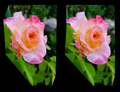 A Rose in3D (rgb48) Tags: flowers crosseyedstereo 3d beauty nature california roses