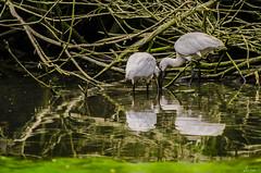 DUE SPATOLE.   ----    TWO SPOONBILL (Ezio Donati is ) Tags: uccelli birds animali animals acqua water stagni alberi trees natura nature italia parcodelticino provinciadipavia