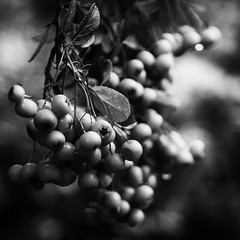 Pyracantha (arbyreed) Tags: arbyreed monochrome bw blackandwhite plant pyracantha firehorn rosaceae berries close closeup squareformat dof depthoffield