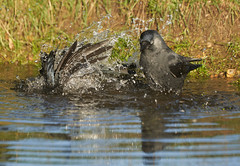 Bathing Jackdaws (paulinuk99999 (lback to photography at last!)) Tags: paulinuk99999 laea3 london wildlife jackdaws water bath splashing bird a73 a7iii sal70400g